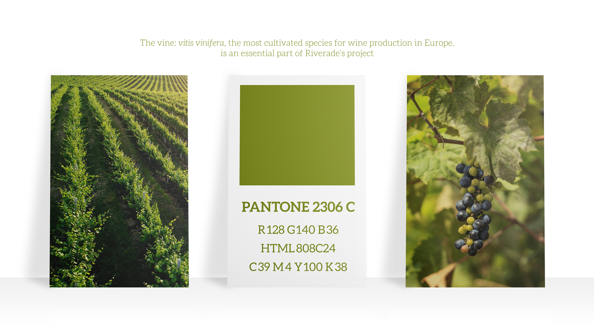 Color palette for Brand Identity based on the Vine, an essential parte of Riverade's Hotel & Winery brand